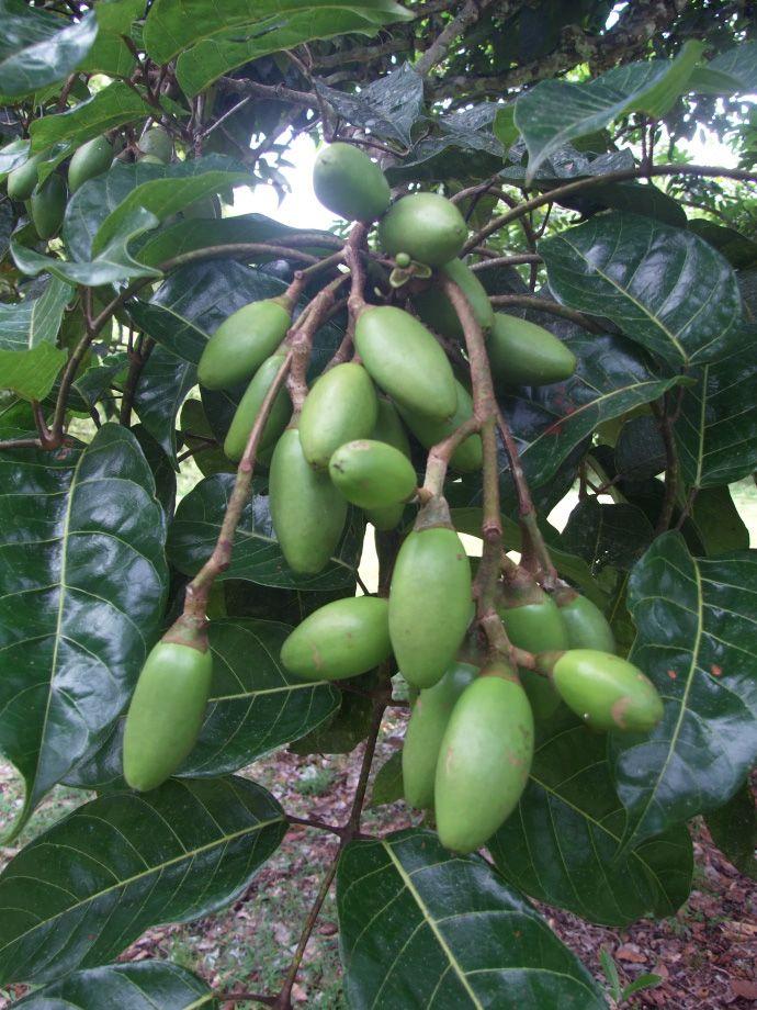 2013-06-nativetrees-pili-unripe-fruit-source-anthropogen.jpg