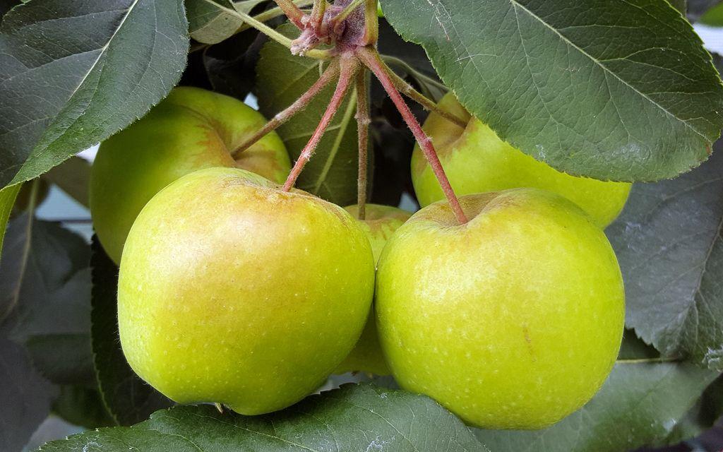 Apples-01.jpg