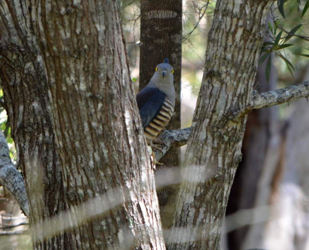 Australian crested hawk bird looking at me.jpg