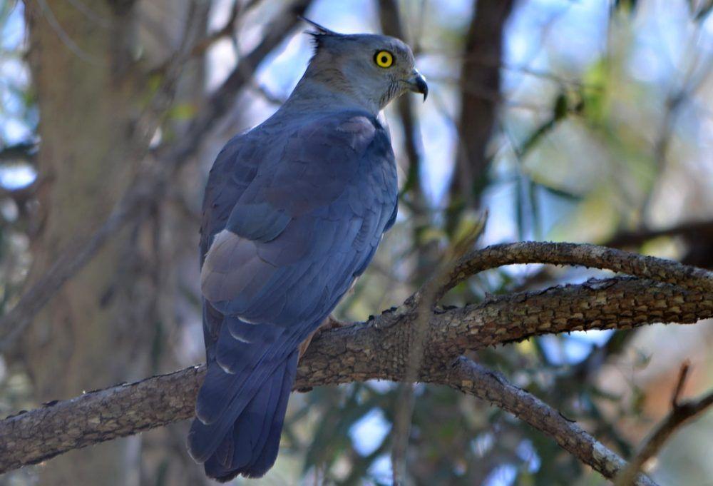 Australian crested hawk bird profile.jpg