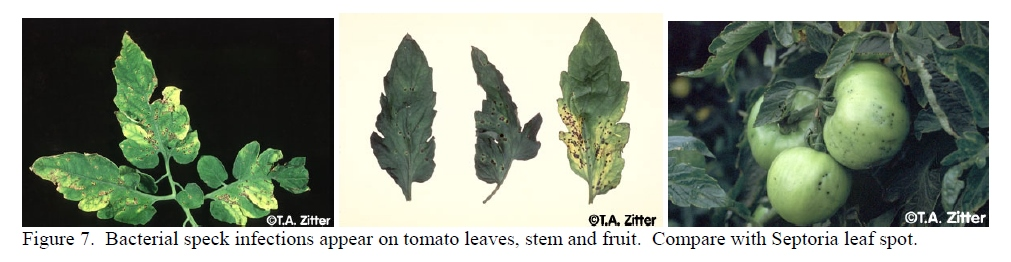 Bacterial Speck Leaf Infections.jpg