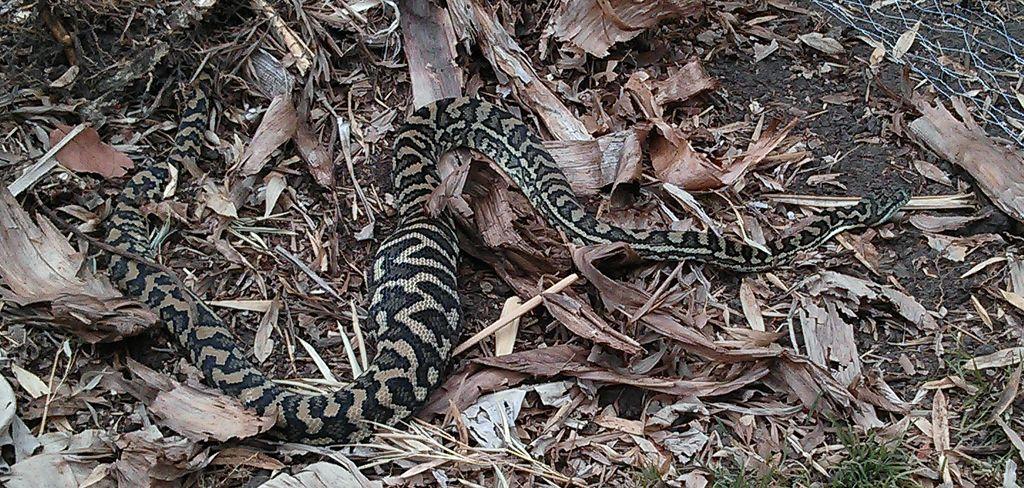 Bad-Carpet-Snake.jpg