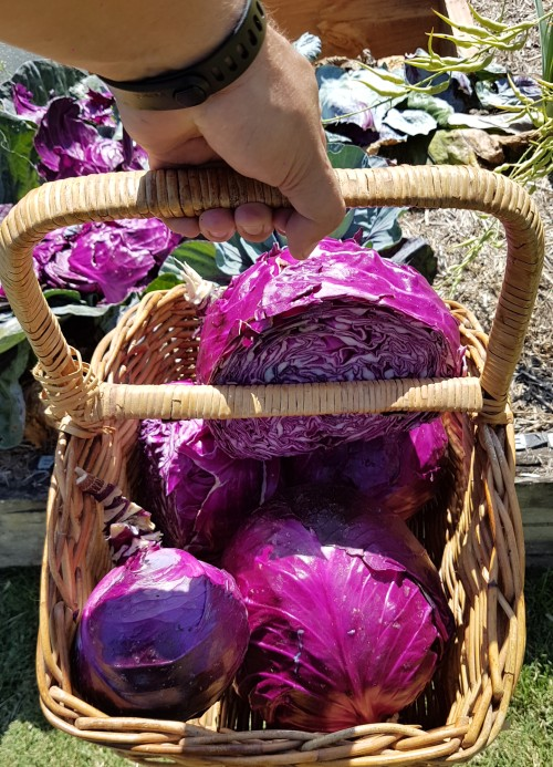 basket full of red rock mammoth cabbages.jpg