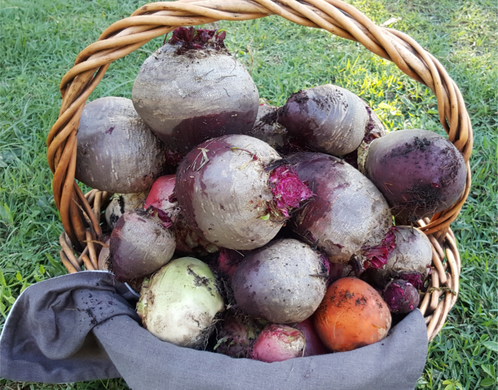 Beetroot Harvest.jpg