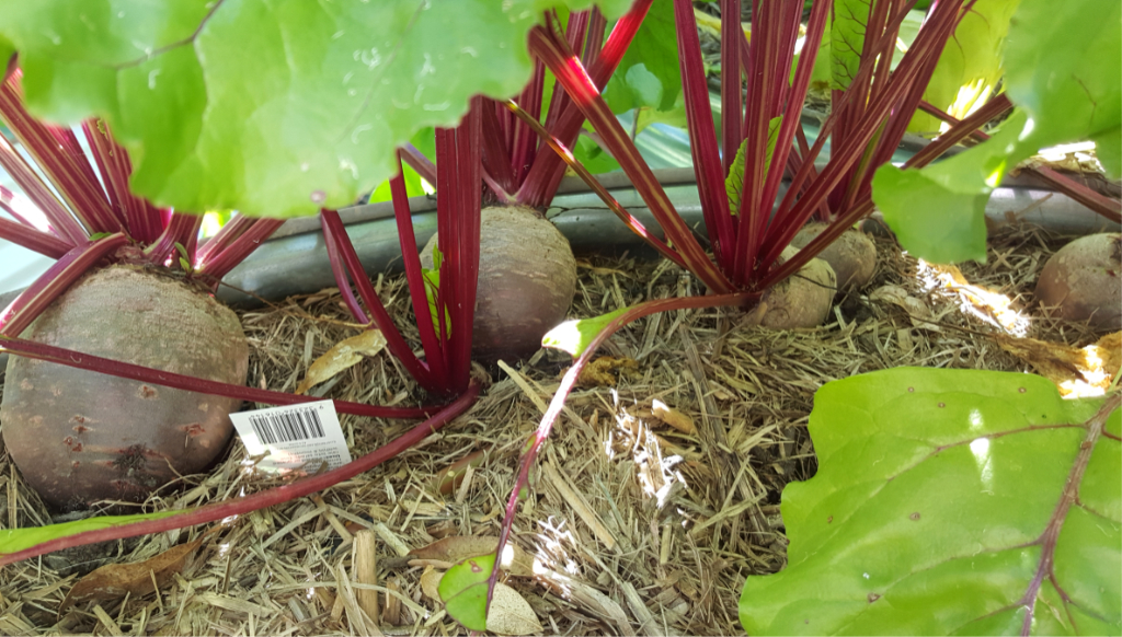 Beetroot Plants.jpg