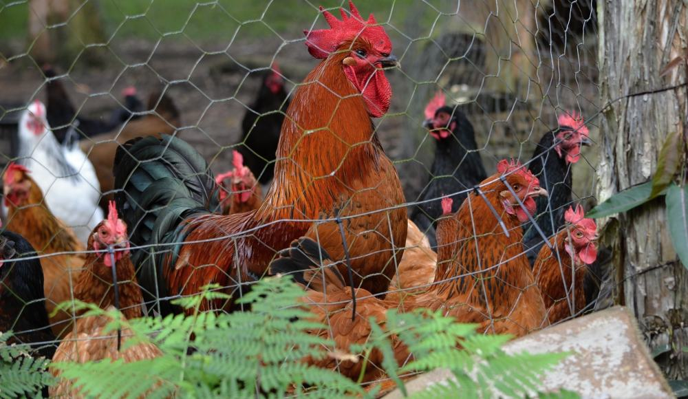 Big rooster chickens.jpg
