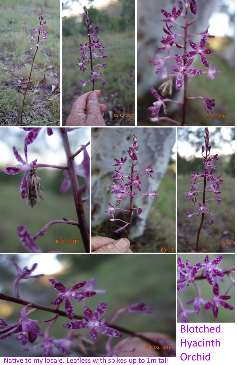 Blotched Hyacinth Orchid collage 3Feb17.jpg