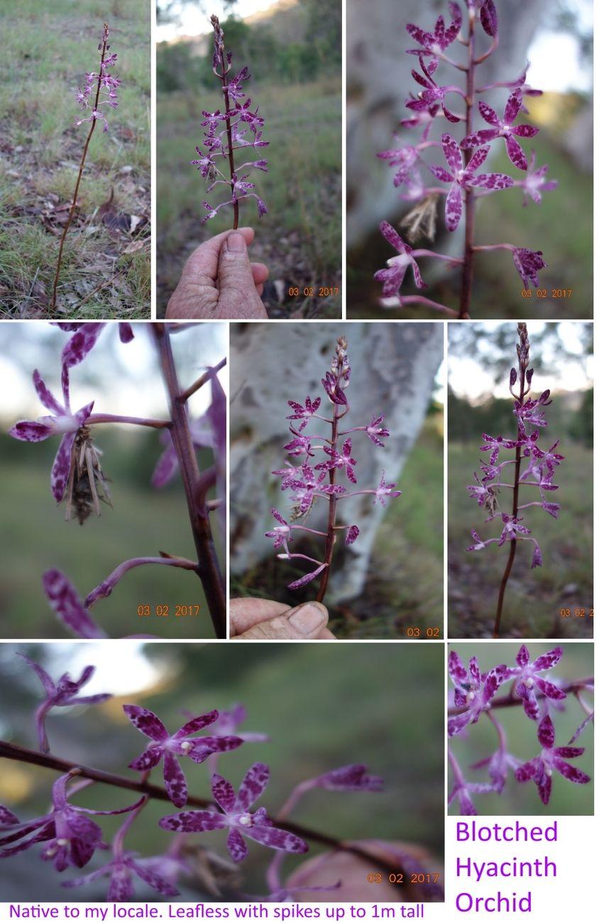 Blotched Hyacinth Orchid collage 3Feb17.jpg