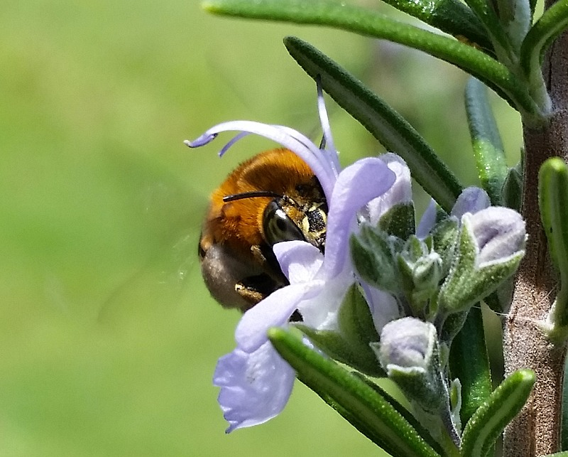 blue banded bee rosmary in flower fully face planted.jpg