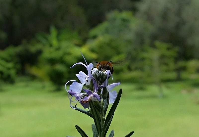blue banded bee rosmary orchard in background apache mode.jpg