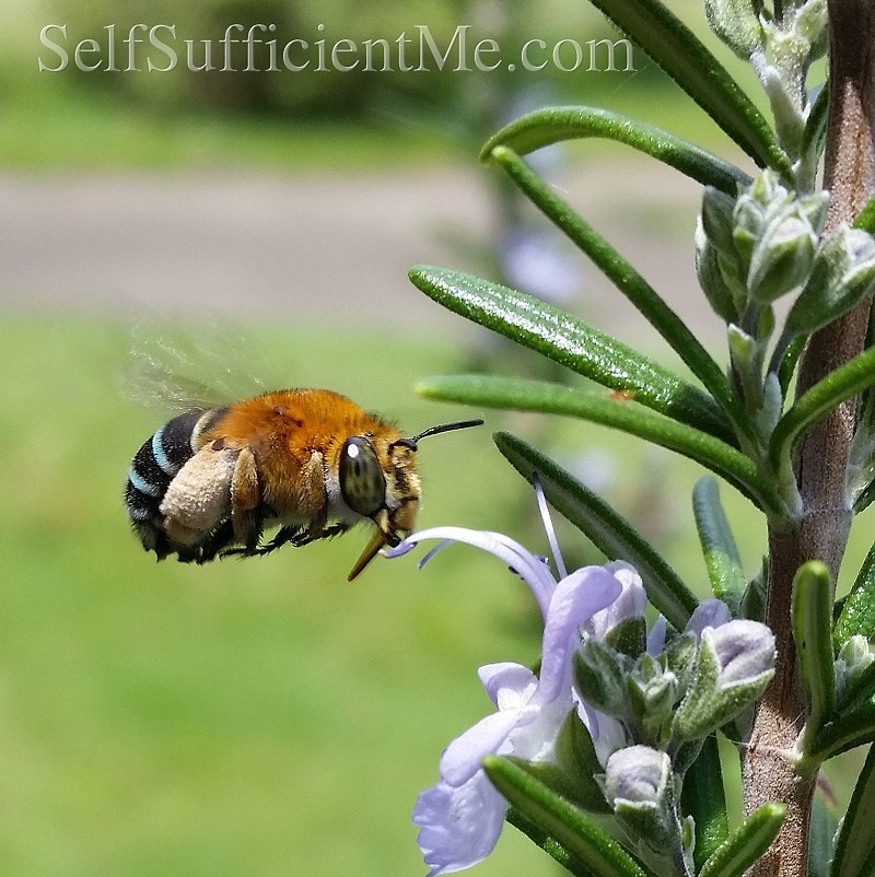 blue banded bee rosmary with watermark 800.jpg