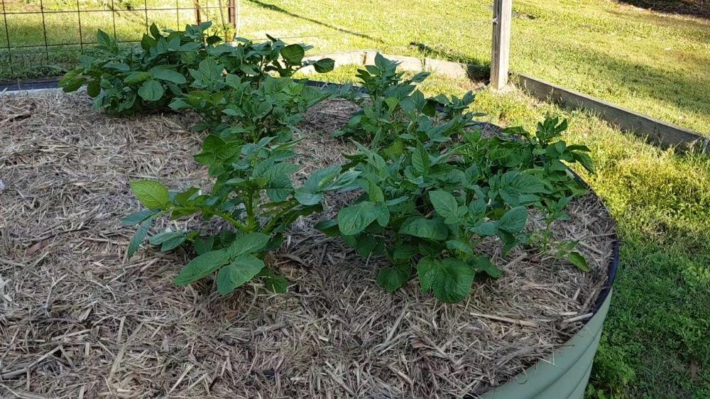 blue royal potato plants 1000.jpg