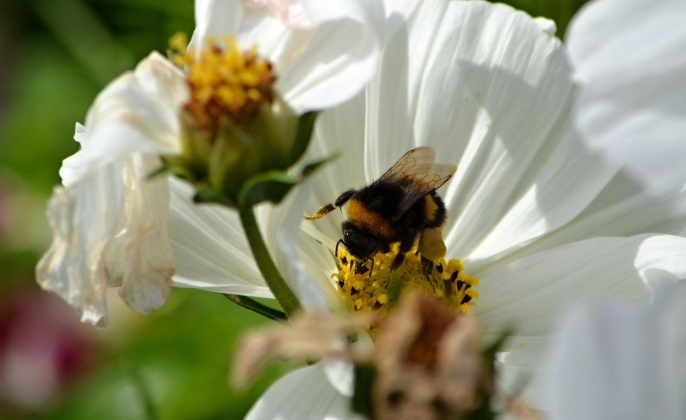 Bumble bee NZ forum on flower.jpg