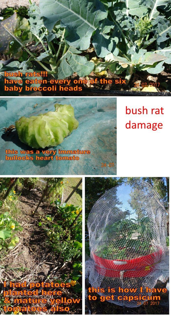 bush rat damage collage.jpg