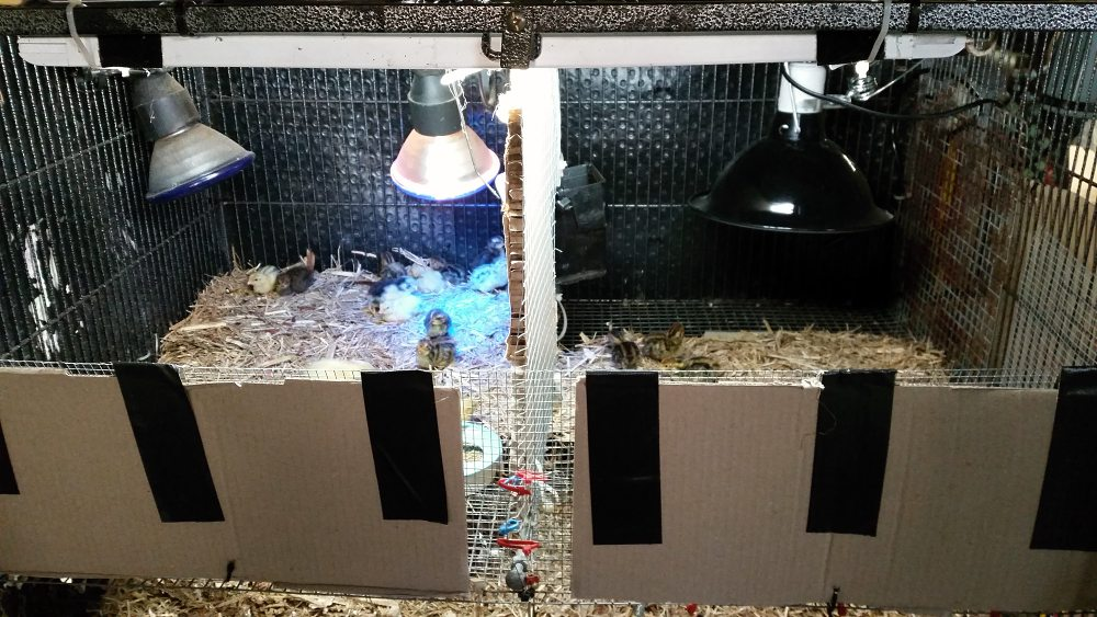 cage brooder for coturnix quail chicks show heat lamps.jpg