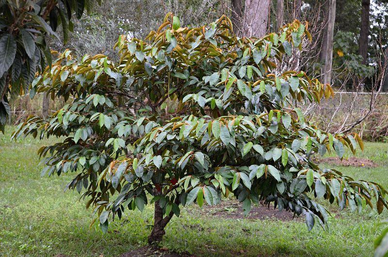 caimito or star apple tree.jpg