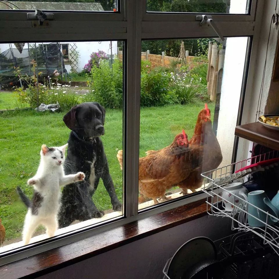 cat dog chickens looking into kitchen through window.jpeg