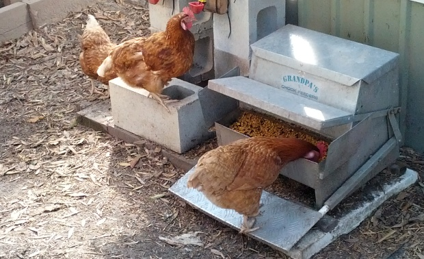chicken eating from a tread plate feeder grandpas chook feeder.jpg