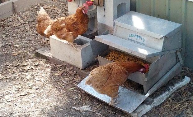 chicken eating from a tread plate feeder grandpas chook feeder.jpg