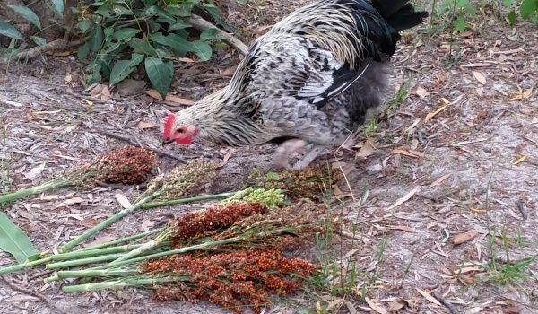chicken eating sorghum seed head plant 600.jpg