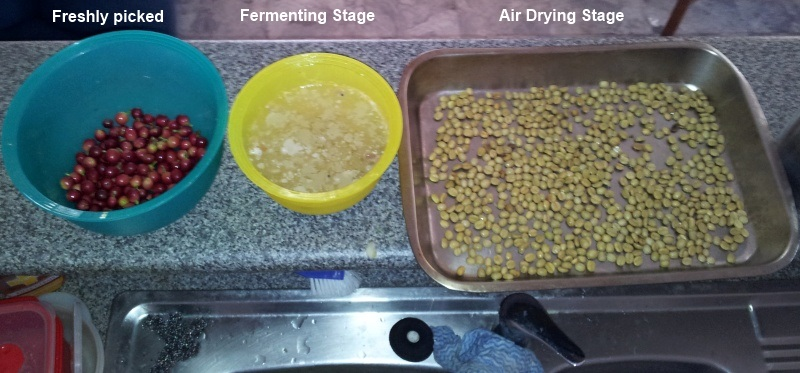 Coffee seed fresh picked fermenting and air drying stages 800.jpg