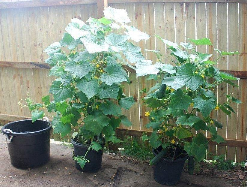 cucumbers in pots self sufficient culture