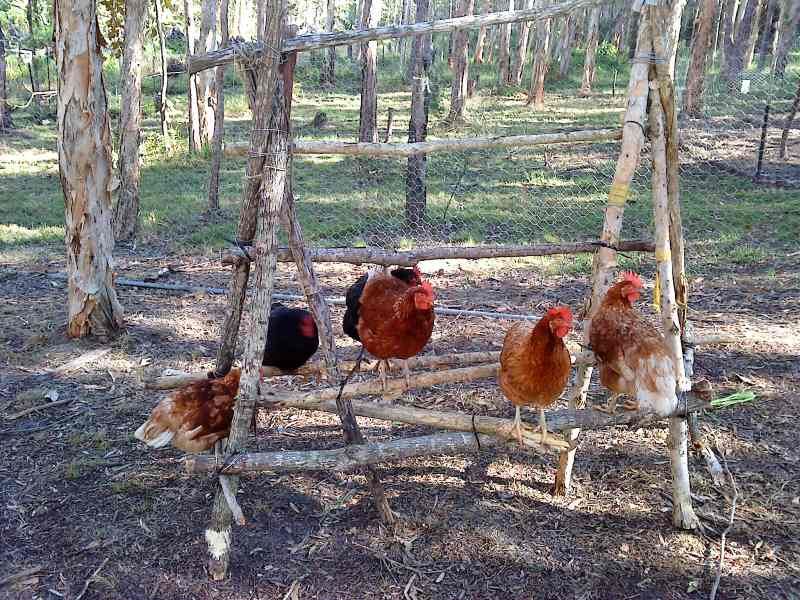 Diy Chicken Roost A Daytime Perch Self Sufficient Culture