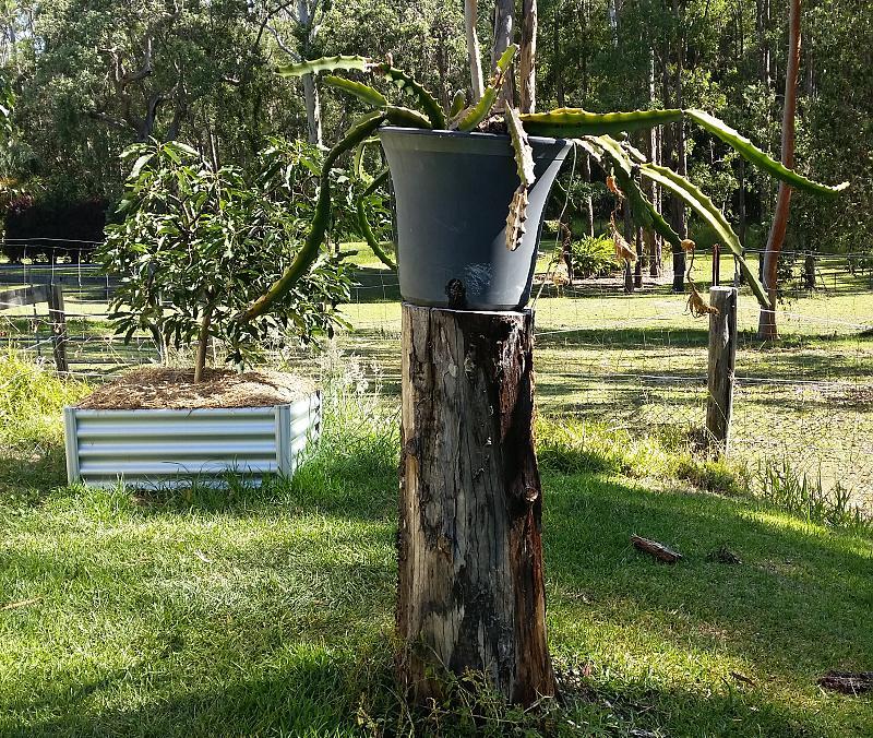 dragon fruit in pot on stump for height.jpg