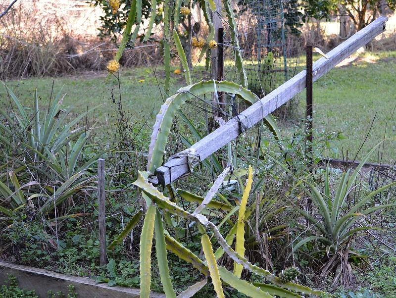 dragon fruit plant fall over broken post.jpg