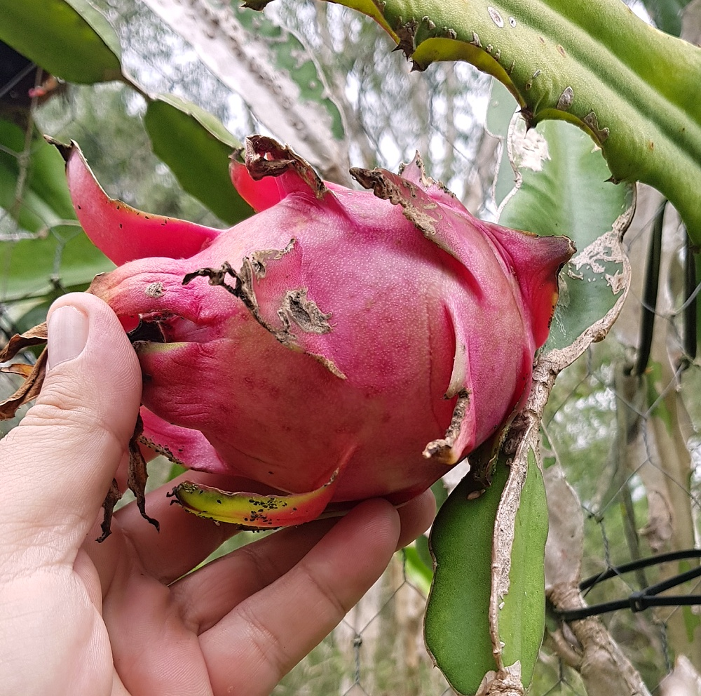 dragon fruit red.jpg