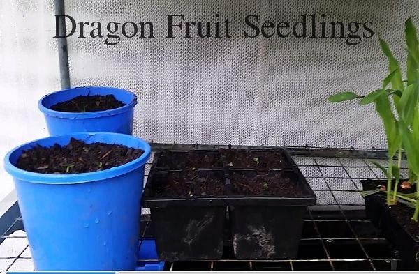 Dragon fruit seedlings germinated from seed 600.jpg