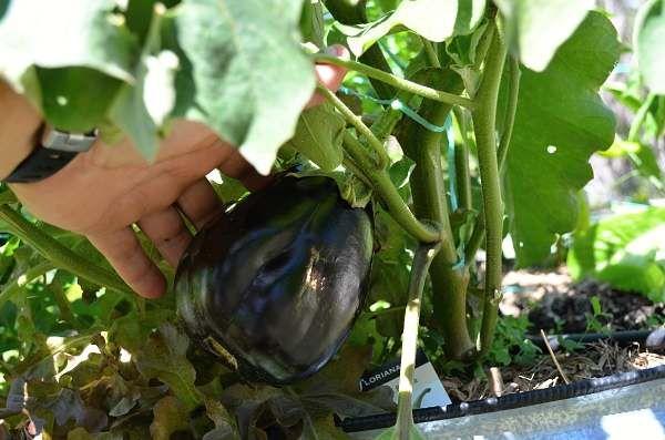 eggplant in raised bed.jpg