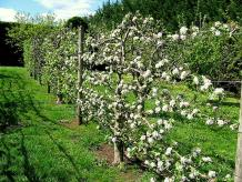 Espalier Apple 1.jpg