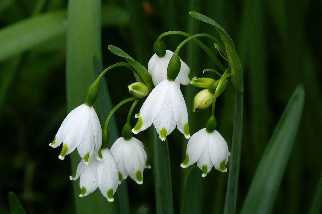 Flower.Low.Leucojum VernumVagneri.Snowflakes.jpg