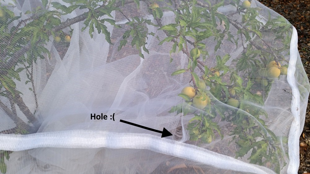 fruit saver net over plum tree with hole.jpg