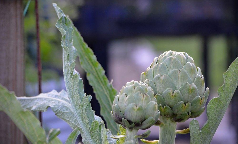 globe artichoke in garden.jpg