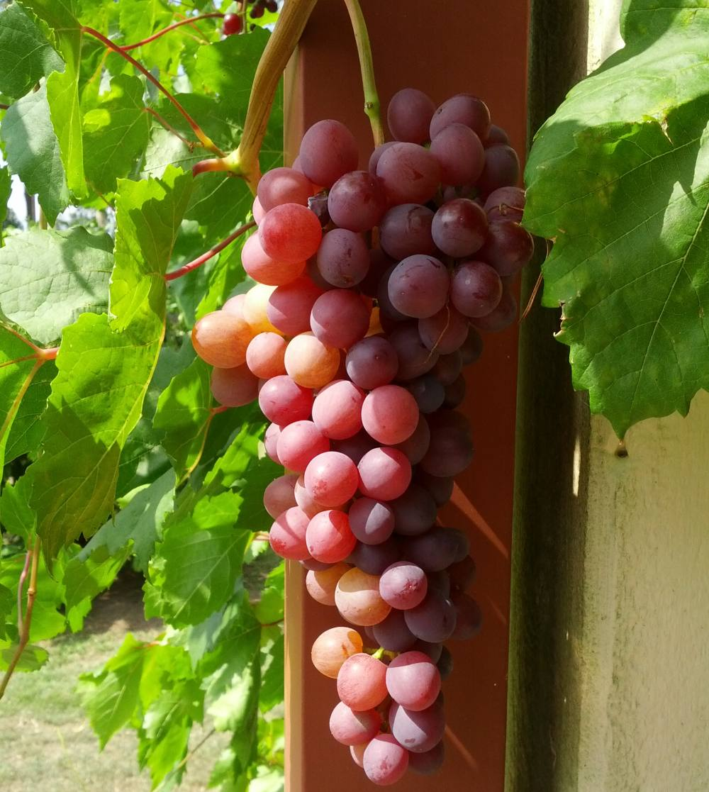 growing grapes in subtropical climate se qld self sufficient culture