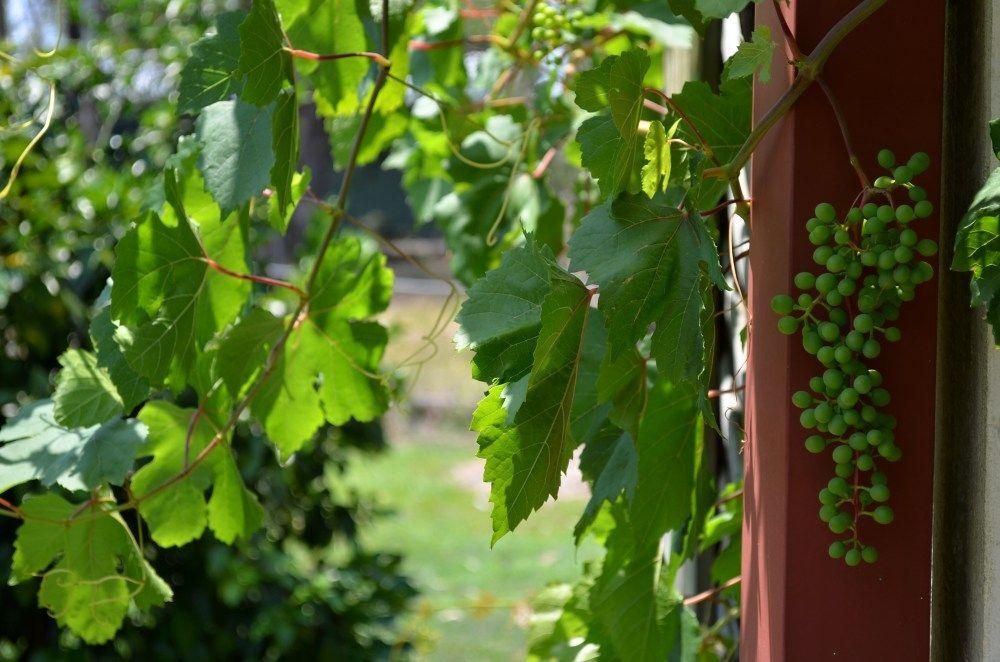 grape green bunch downpine house 1000.jpg