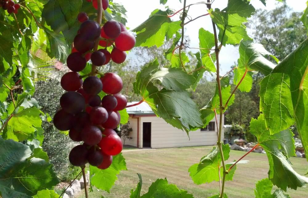 grape ripe bunch looking through 1000.jpg