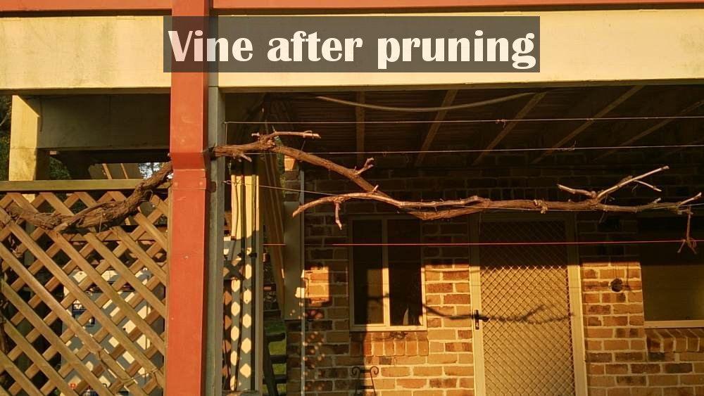 grape vine after pruning 1000.jpg