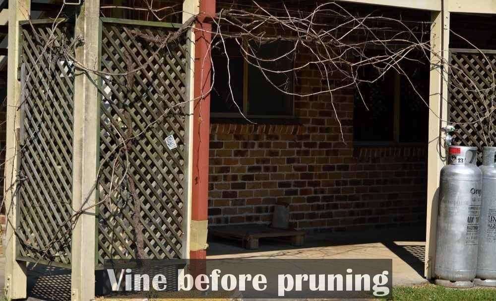 grape vine before pruning 1000.jpg