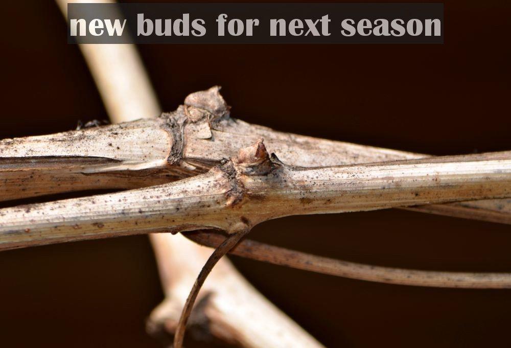 grape vine bud to look for pruning.jpg