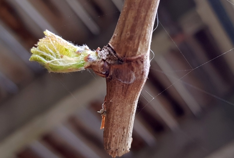 grape vine flam seedless starting to grow from bud.jpg