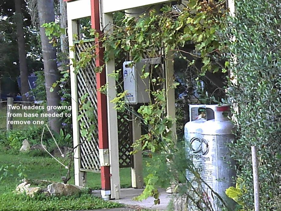 grape vine young climbing house.jpg