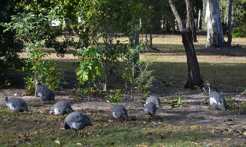 guinea fowl in flock.jpg