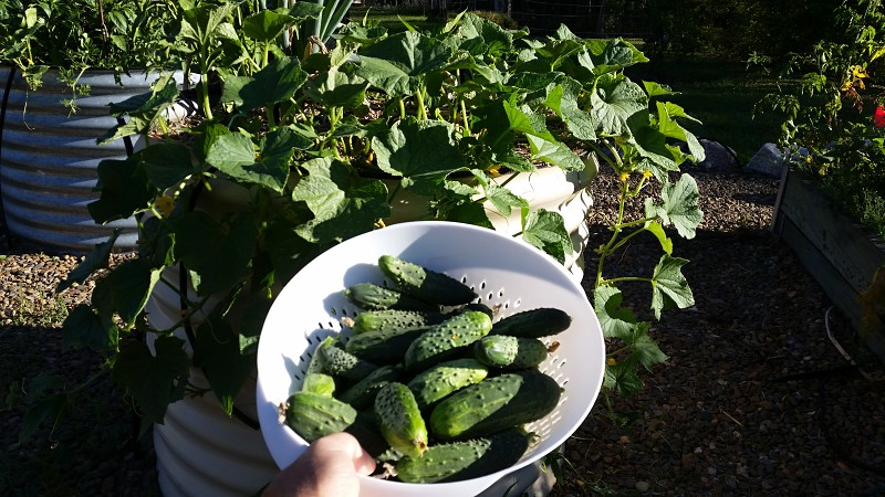 harvested cucumbers ready for pickling.jpg