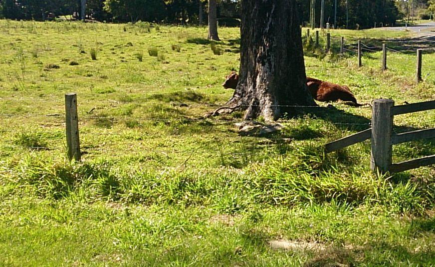 huge cow.jpg