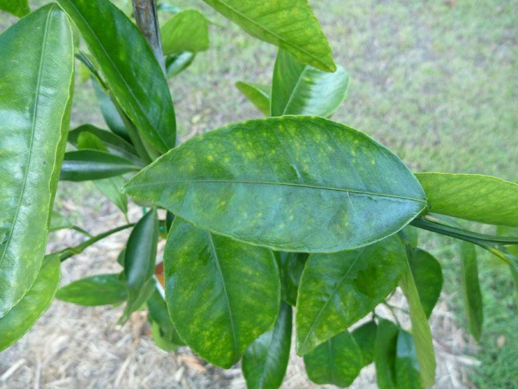 Japenese Mandarin 01.jpg