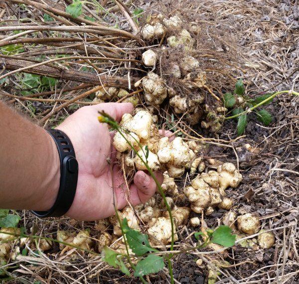 jerusalem artichoke tubers in garden.jpg