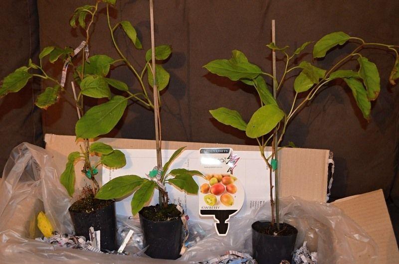 kiwiberry seedlings in box unwrapped.jpg